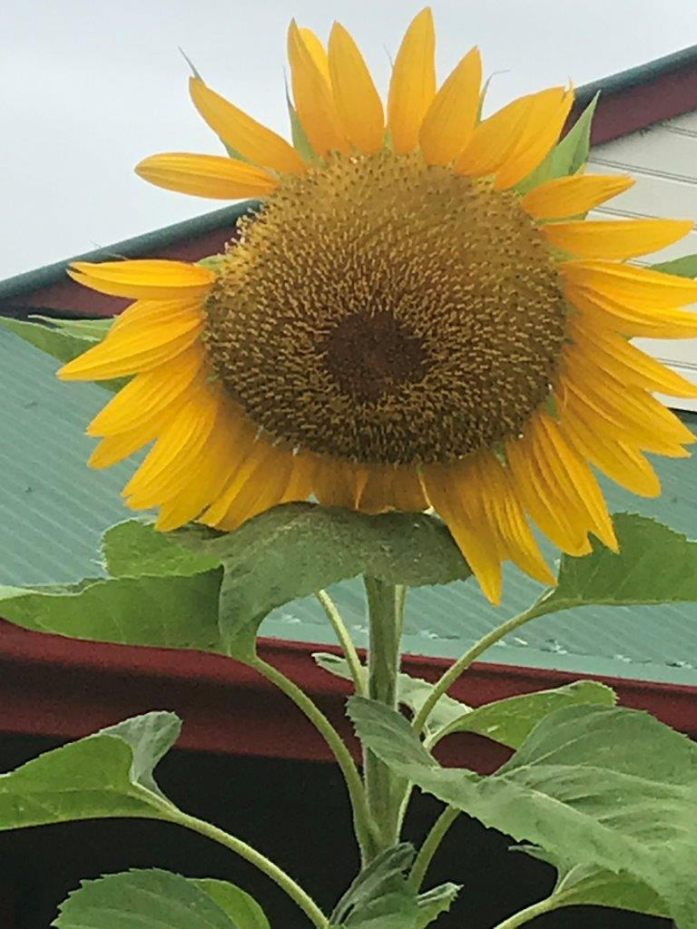 Sunflowers during COVID19